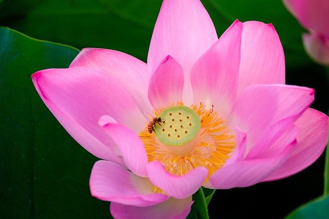 Lotus, Early Summer, Summer
