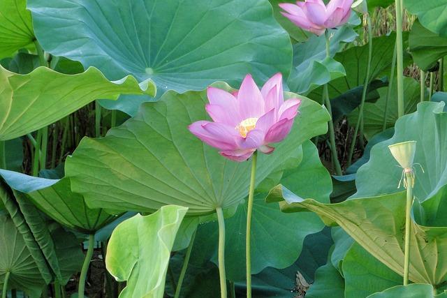 Flower, Lotus, Summer