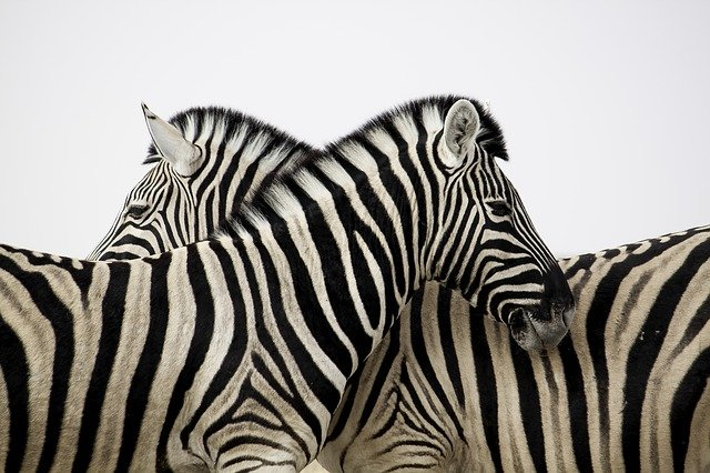 Zebra, Stripes, Love, Animal, Africa, Safari