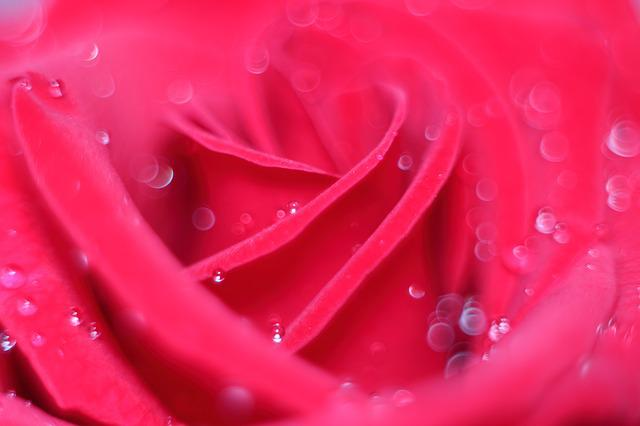 Love Scam, Love, Attachment, Rose, Abstract, Rosa