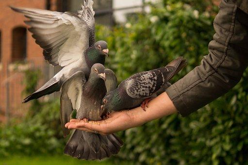 Pigeon, Hand, Person, Feeding, Wings, Bird, Dove, Love