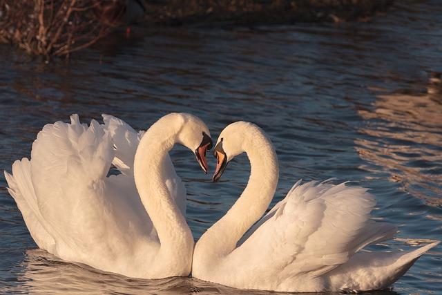 Swans, Pair, Male, Female, Bird, Love, Wildlife