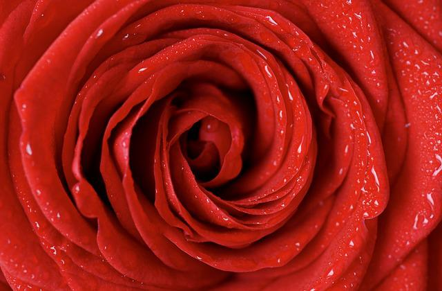 Rose, Red, Love, Red Rose, Blossom, Bloom, Flower