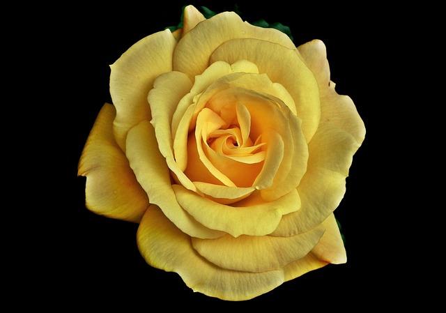Rose, Yellow, Flower, Petal, Blooming, Love, Closeup