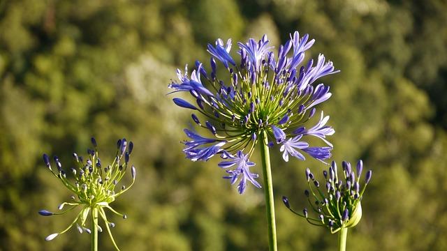 Jewelry Lilies, Agapanthus, Love Flowers, Purple Flower