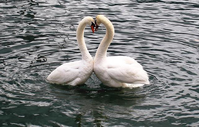 Swans, Swan Pair, Heart, Love, Lake, Lago Maggiore