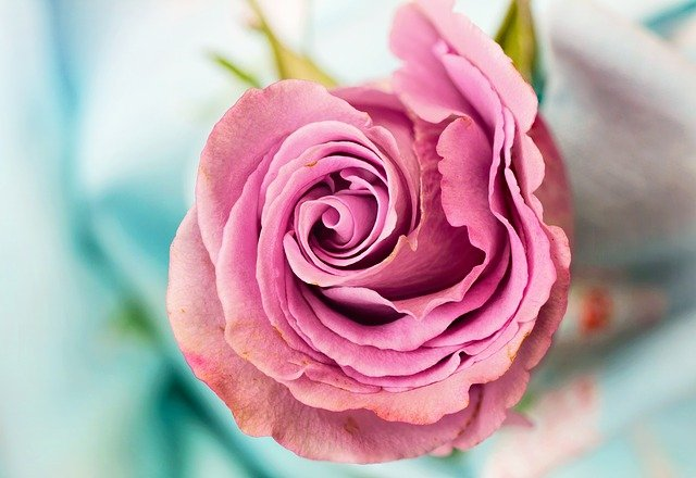 Rose, Flower, Petal, Love, Floral, Macro, Pink