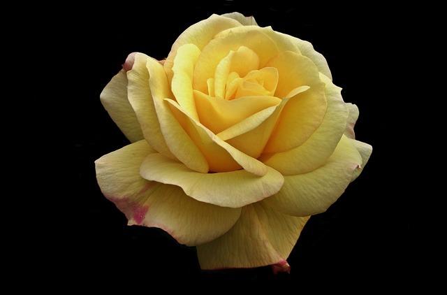 Flower, Rose, Petal, Love Nature, Summer, Nature
