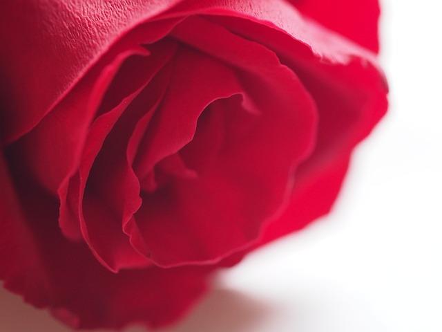 Rose, Flower, Petal, Romance, Love, Blooming, Floral