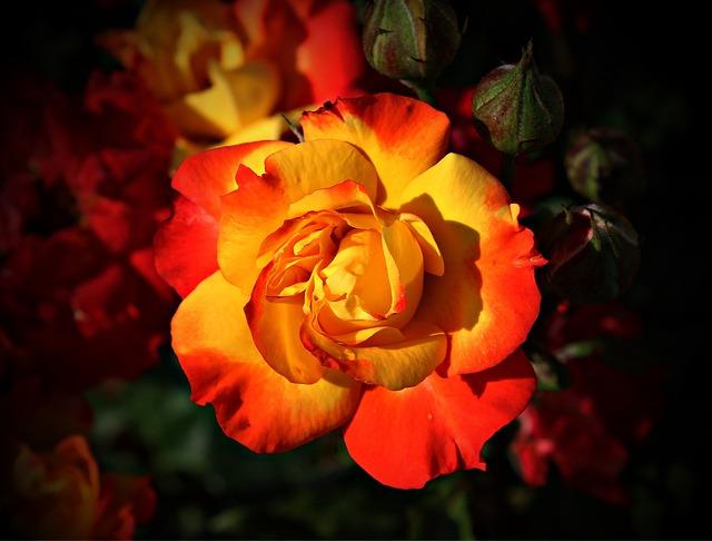Rose, Flower, Blossom, Bloom, Yellow, Red, Love, Tender
