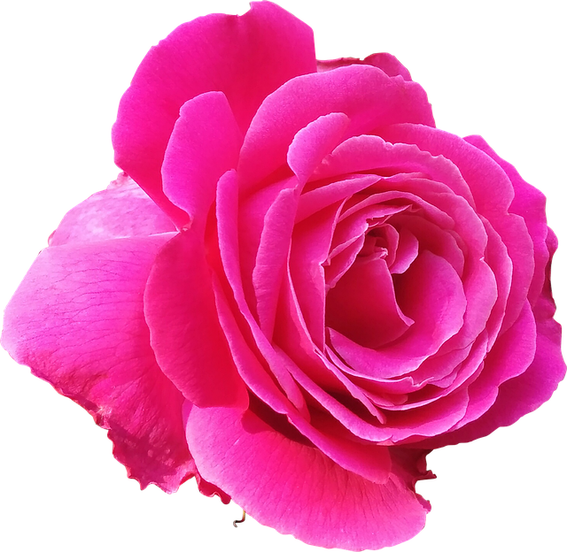 Rose, Pink, Love, Valentine, Lovely, Magenta, Flower