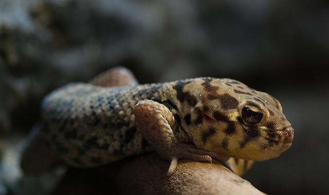 Wonder Gecko, Rough Scincus, Reptile, Terrarium, Lowkey
