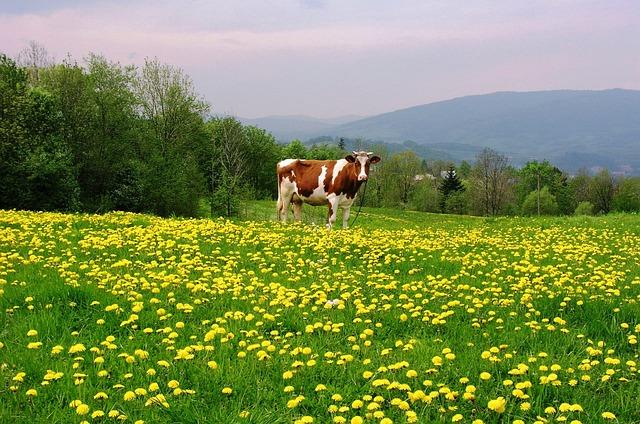 Luboń Wielki, Spring, Cow