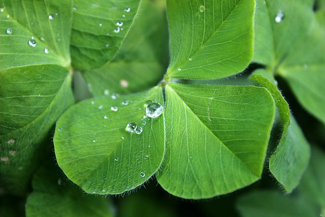 Four Leaf Clover, Luck, Green, Water, Drip