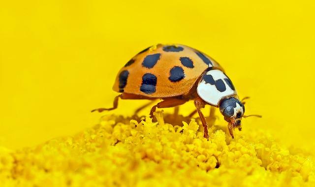 Marien-beetles, Harmonia Axyridis, Lucky Ladybug