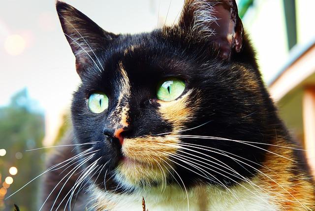 Cat, Female, Lucy, Portrait, Eyes, Mustache, Mammal