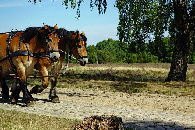 Horses, Monteaura, Lüneburg Heath, Horse Drawn Carriage