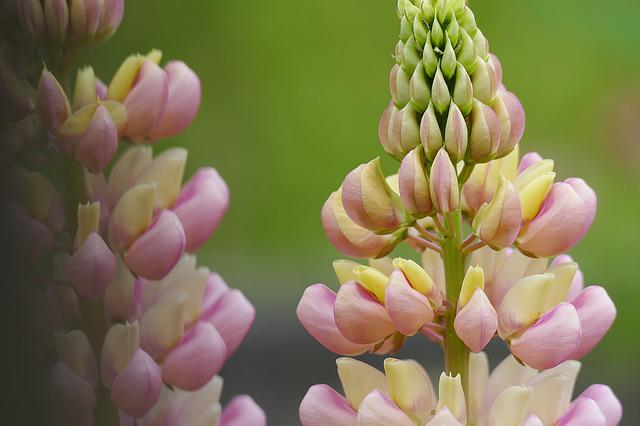 Lupine, Lupinus, Flower, Plant, Close, Summer, Blossom