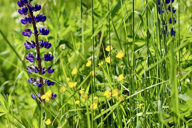 Lupins, Wolf Bean, Buttercup, Fabaceae, Meadow