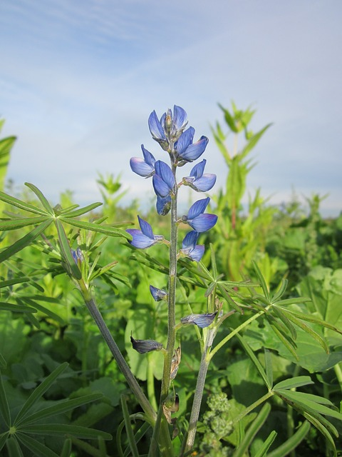 Lupinus Angustifolius, Blue Lupin, Narrow-leafed Lupin