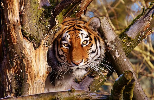 Tiger, Predator, Lurking, Fur, Beautiful, Dangerous