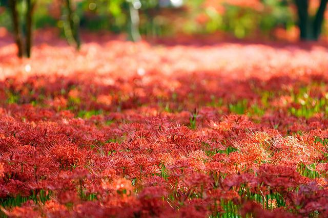Synchronization, Lycoris Squamigera, Red, Flower