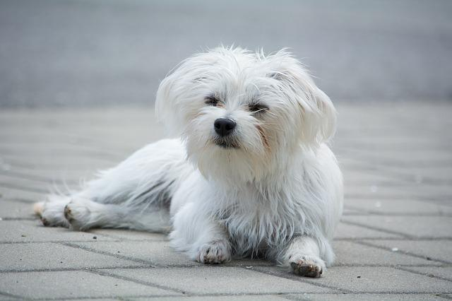Dog, Small, White, Small Dog, Out, Lying, Space