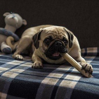 Pug, Stella, Dog, Treats, Lying