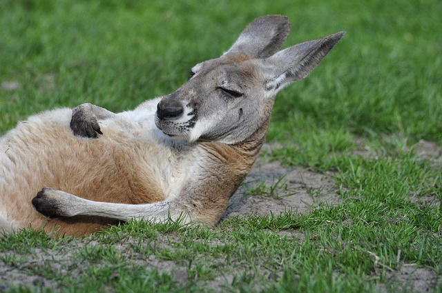 Kangaroo, It Lies, Grass, Zoo, Lying, Animal