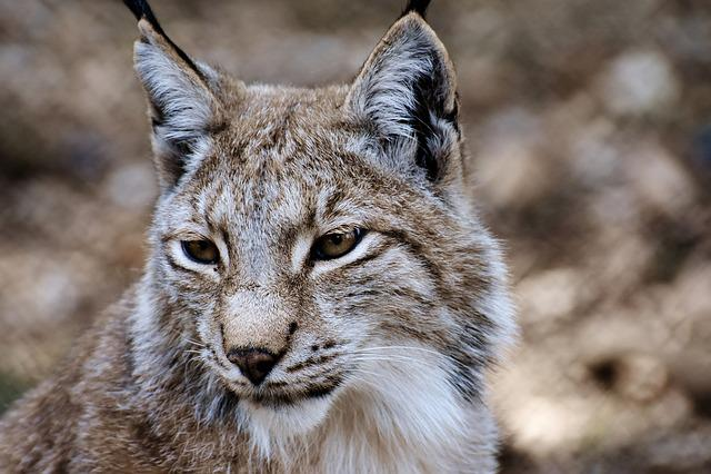 Lynx, Wild Animal, Wildcat, Carnivores, Animal World