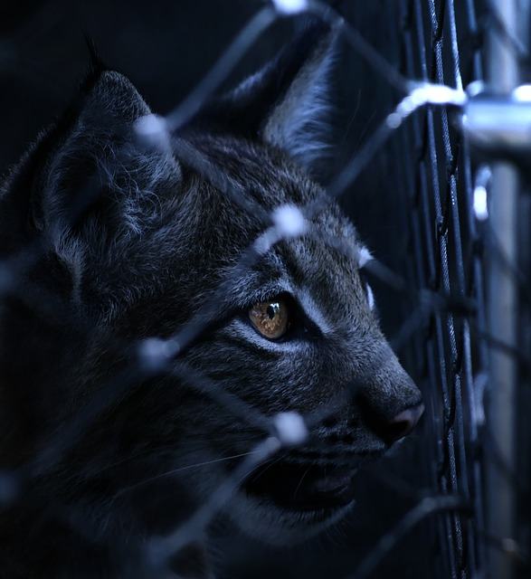 Lynx, Caught, Imprisoned, Fence, View, Eye, Night, Dark