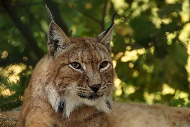 Lynx, Animal, Cat, Wildcat, Lynx Lynx, Eurasischer Lynx
