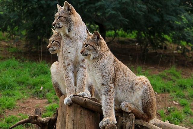 Lynx, Miranda Crow, Zoo, Wild
