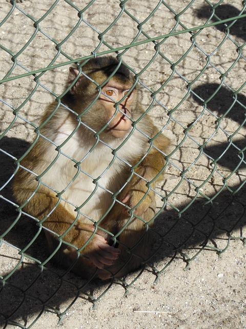Animals, Macaque Monkey, Curious, Macaca Nemestria