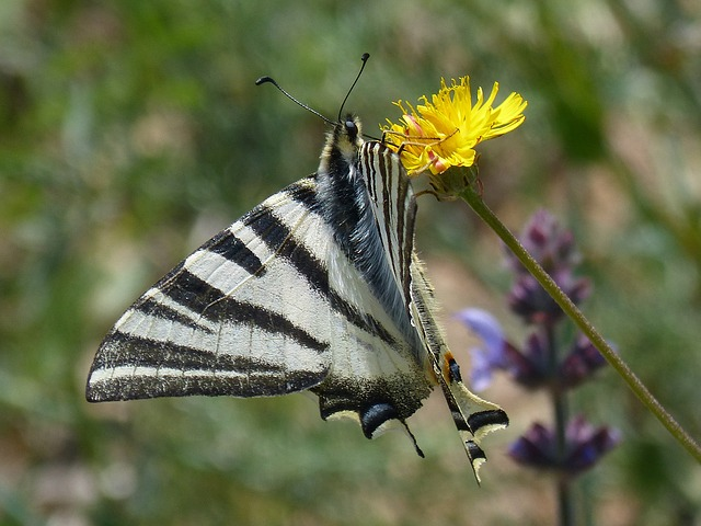 Machaon, Butterfly Queen, Libar, Pollen, Dandelion