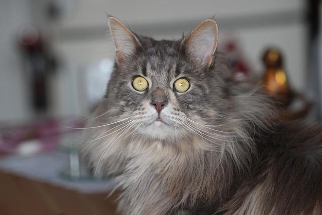 Maine Coon, Cat, Breed Cat, Long Coat, Mackerel
