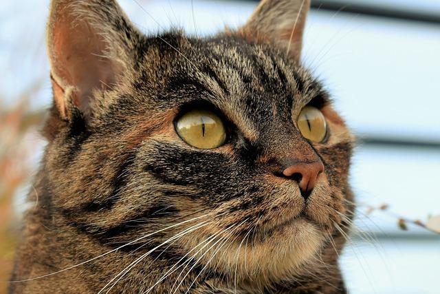 Cat, Animal, Pet, Cat's Eyes, Portrait, Mackerel