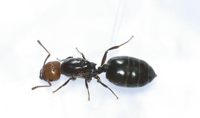 Hymenoptera, Ant, Head, Rossa, Macro