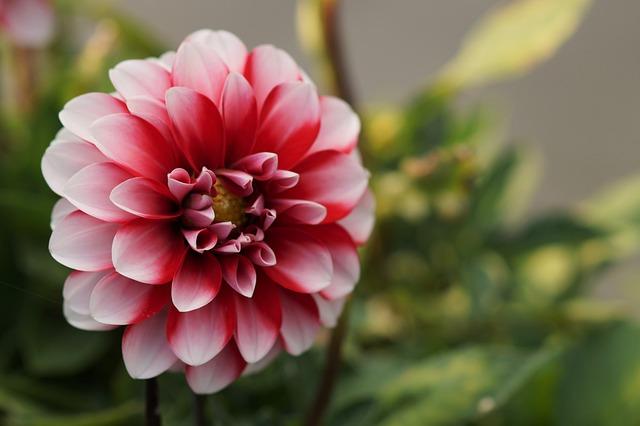Flower, Bicolor, Nature, Macro