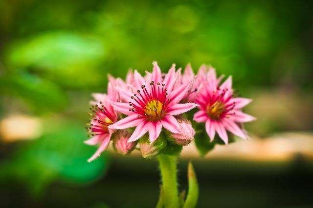 Flower, Houseleek, Blossom, Bloom, Plant, Macro, Nature