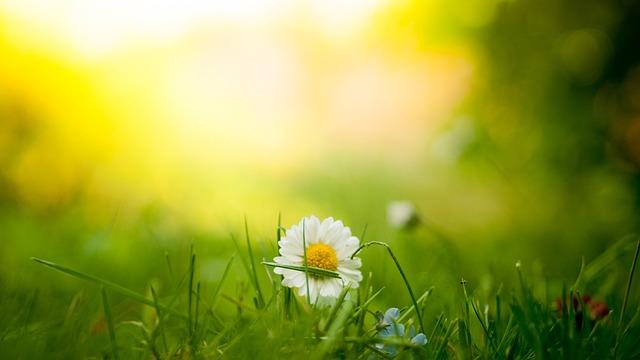 Bloom, Blossom, Daisy, Flora, Flower, Grass, Macro