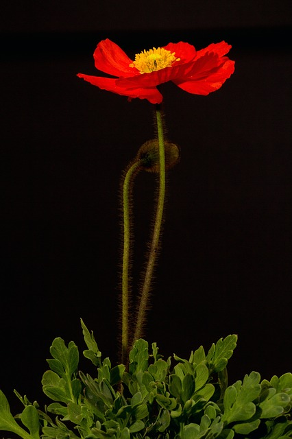 Poppy, Blossom, Bloom, Macro, Iceland Poppy