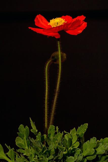 Poppy, Blossom, Bloom, Macro, Iceland Poppy