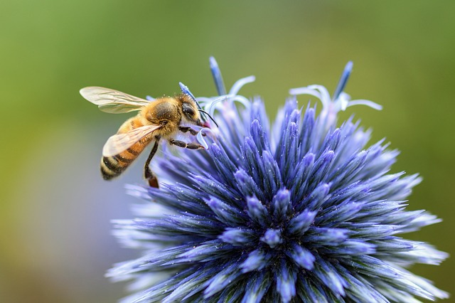 Bee, Thistle, Blue, Insect, Forage, Macro