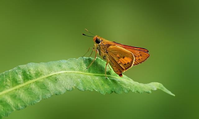 Butterfly, Brown Skipper, Skipper, Macro, Closeup