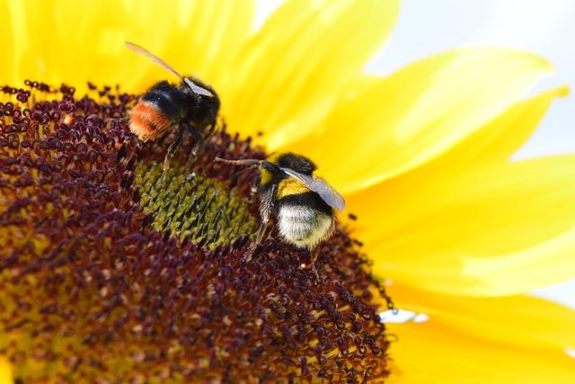 Bumblebees, Sun Flower, Pollen, Macro, Nature, Flowers