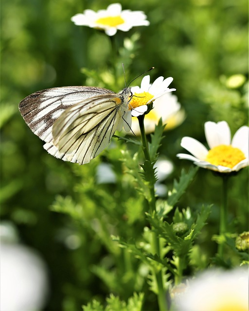 Daisy, Flower, Butterfly, Insect, Animal, Macro