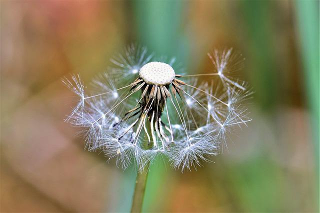 Dandelion, Fade, Bloom, Seeds, Close, Macro, Nature