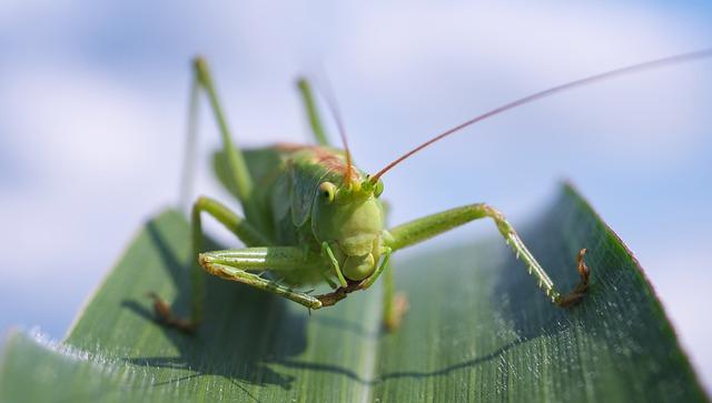 Viridissima, Grasshopper, Macro, Close, Green