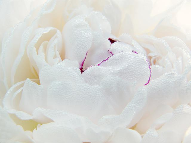 Peony, Paeonie, Blossom, Bloom, Macro, Close Up